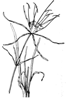 Hymenocallis etching