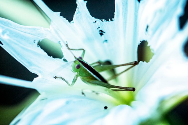 Hymenocallis grasshopper lighter