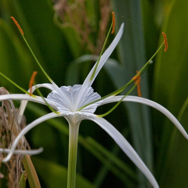 Hymenocallis latifolia 3