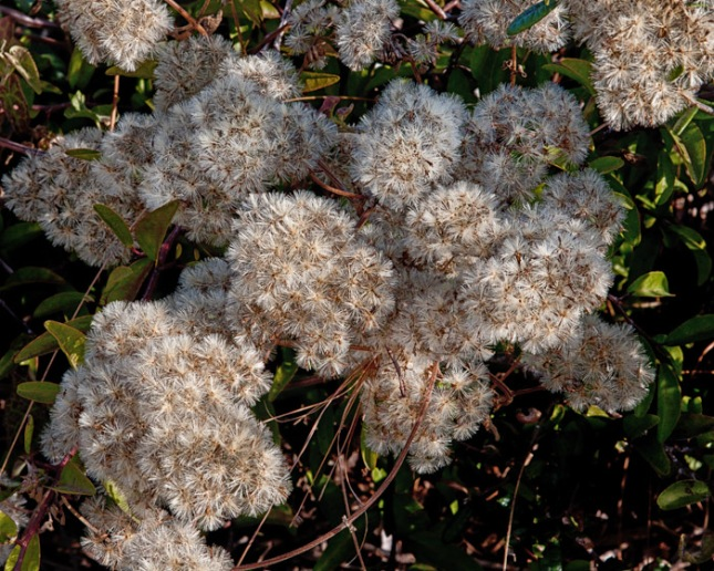 Mikania cordifolia 2