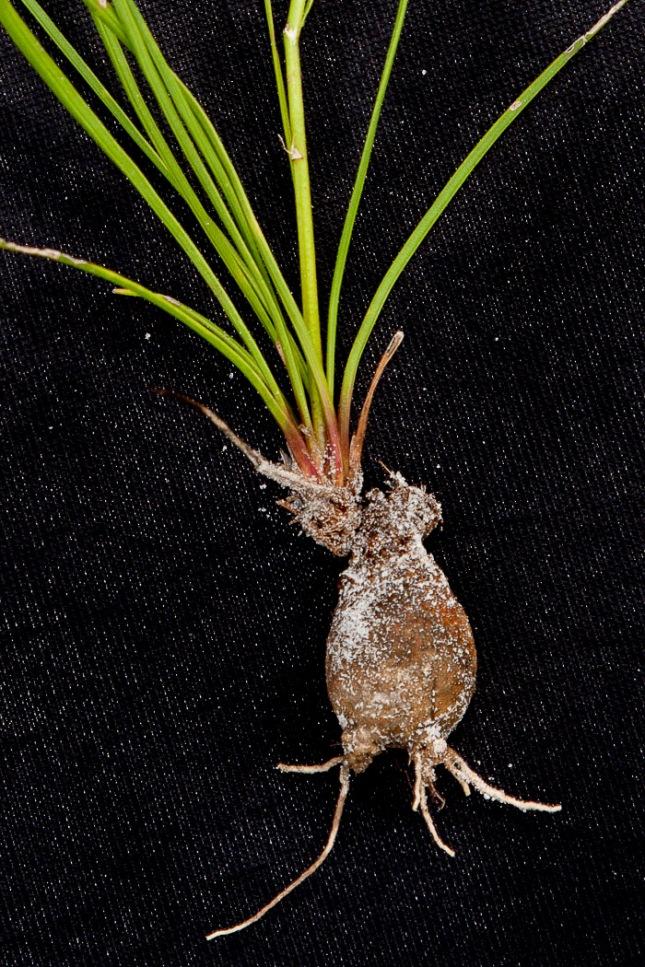 Liatris gracilis 5