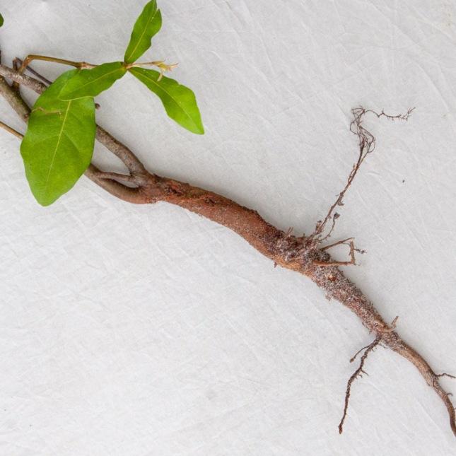Quercus tuber 1
