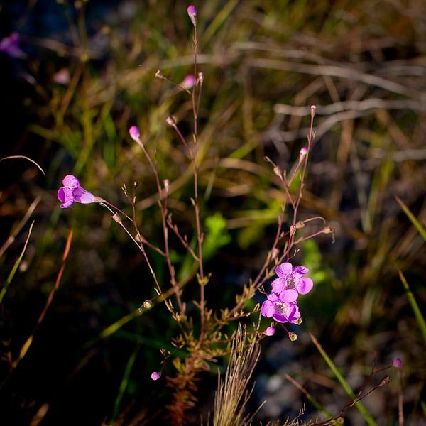 Agalinis linifolia 1