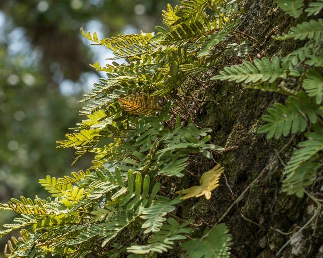 Pleopeltis polypodioides 13