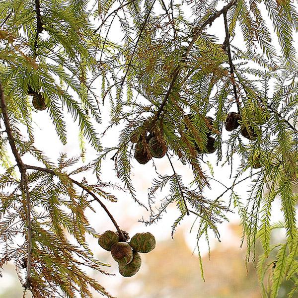 Taxodium distichum 2