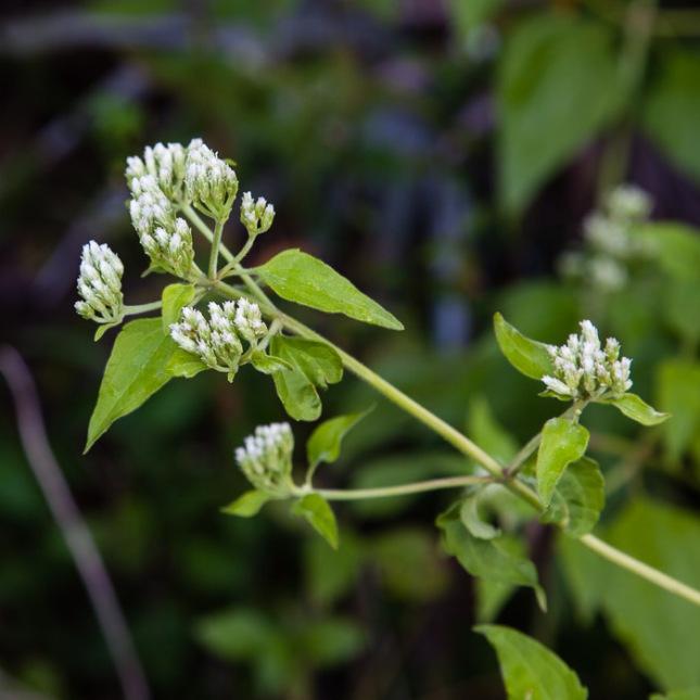 Chromolaena odorata 1