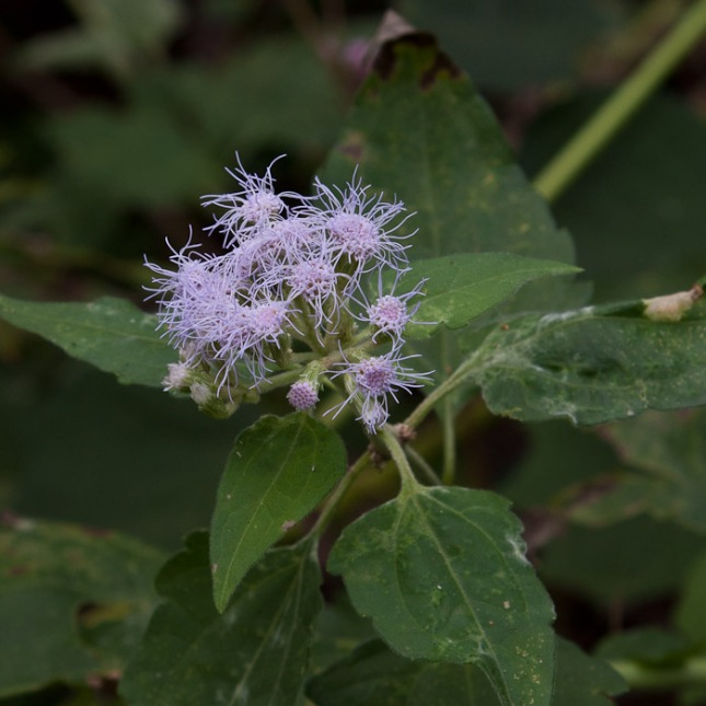 Chromolaena odorata 7