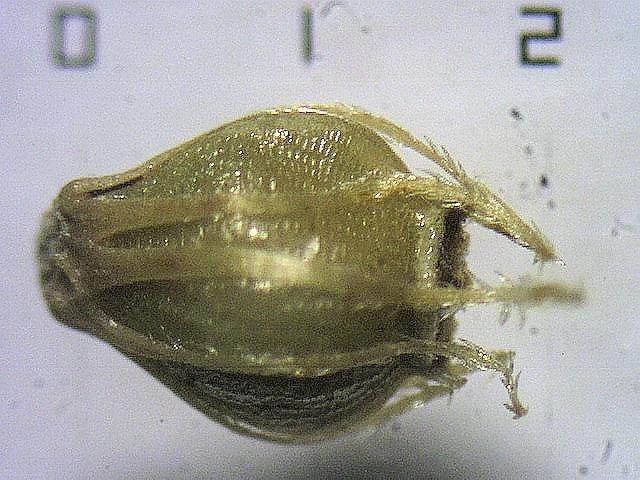 E. interstincta achene