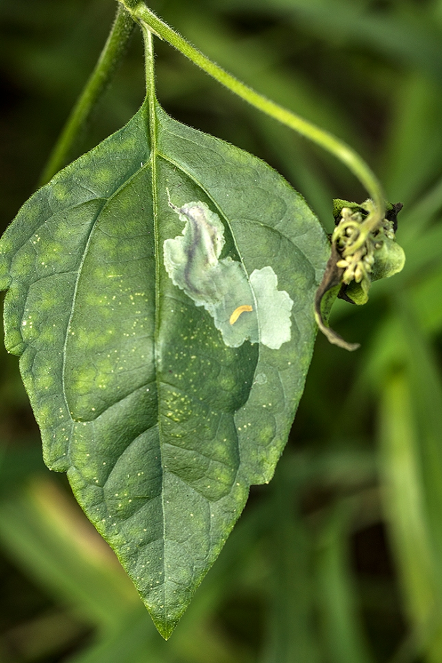 leaf miner larva in mine