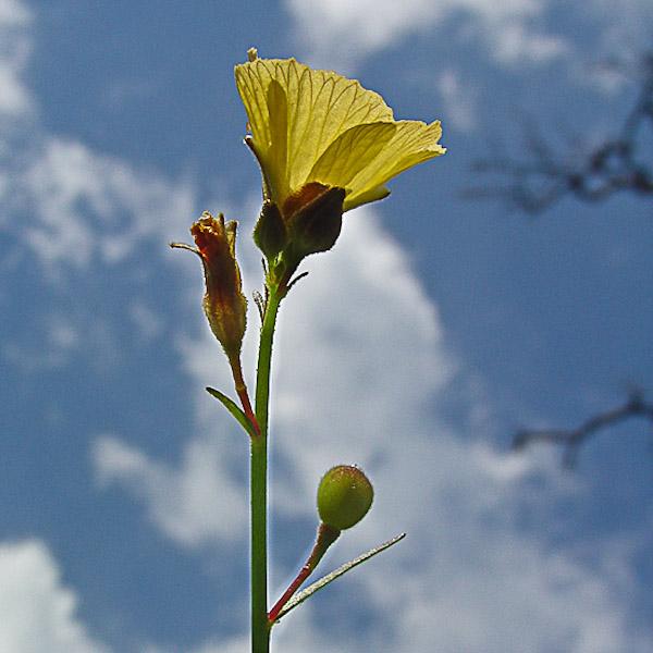 Piriqueta cistoides 2