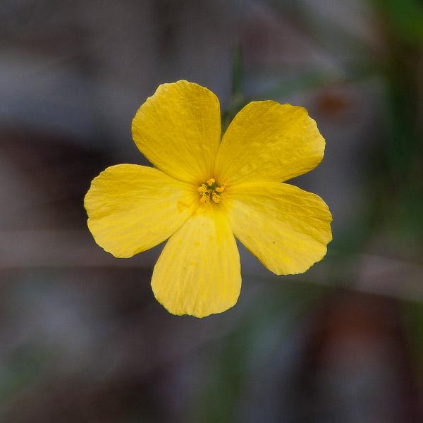 Piriqueta cistoides 4