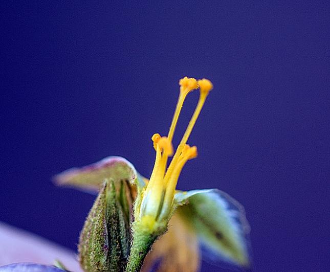 piriqueta pin