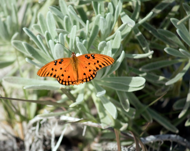 Butterfly on sea lavender