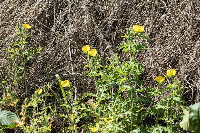 Argemone mexicana plants Feb.