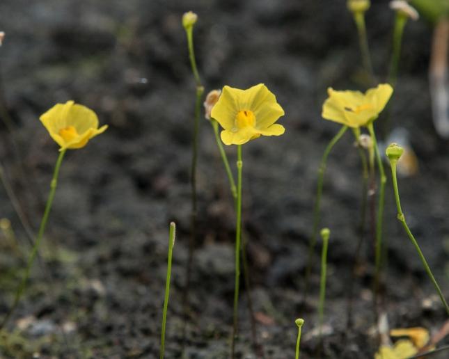 Utricularia subulata 9
