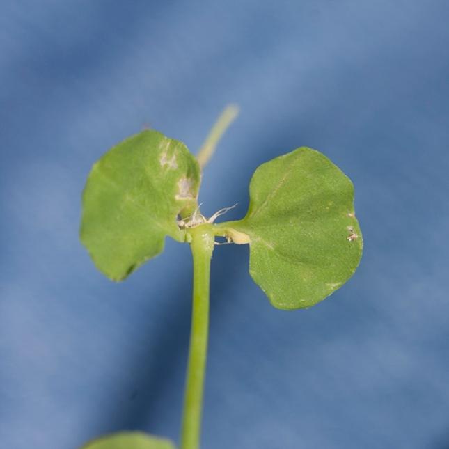 Drymaria leaves