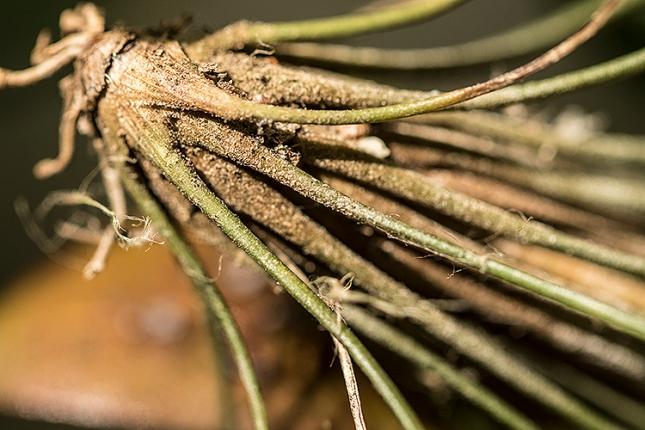 Tillandsia setacea fuzzy base