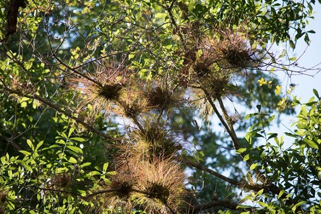 Tillandsia setacea seeral on branch