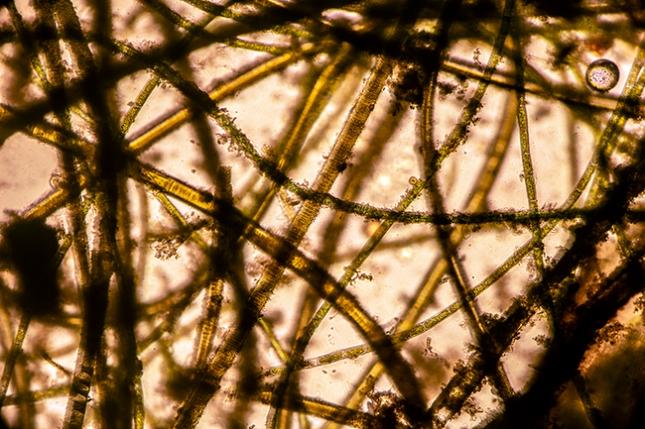 Algae mat microscope