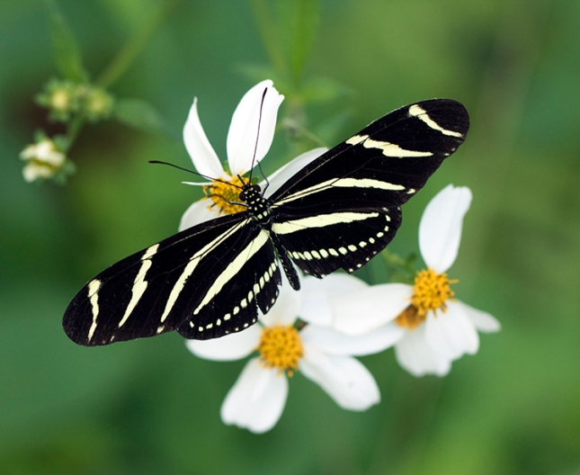 Bidens alba with zebra longwing