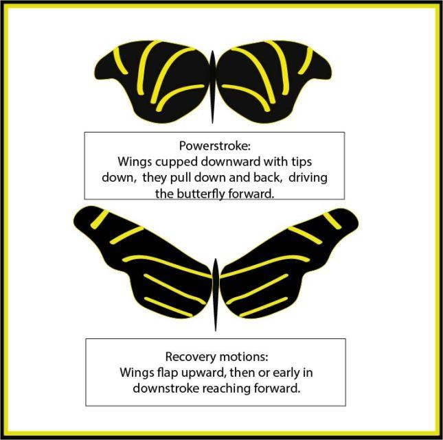 Butterfly wing strokes