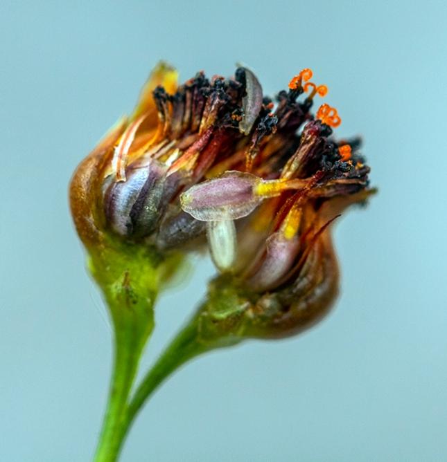 Coreopsis achene bud open - Copy