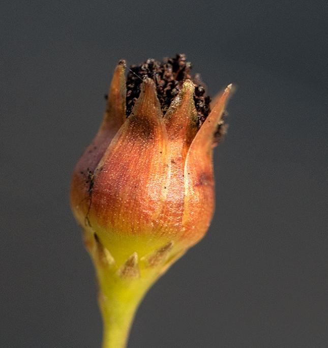 Coreopsis achene bud