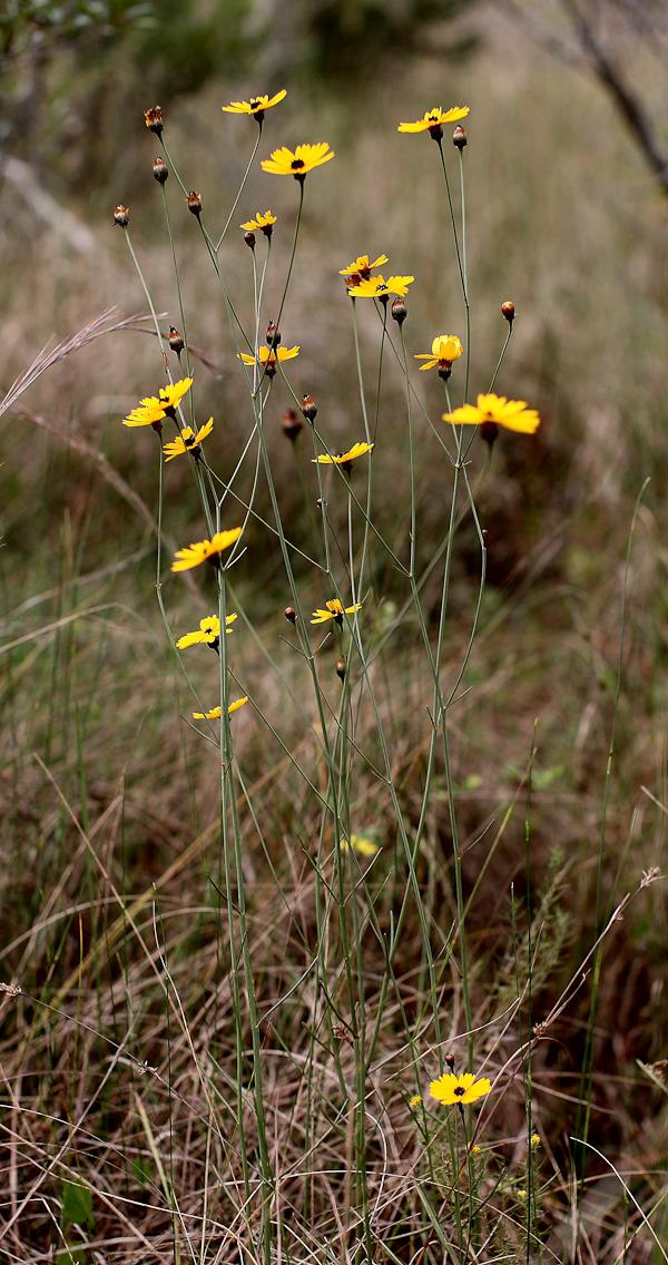 Coreopsis gladiata 1