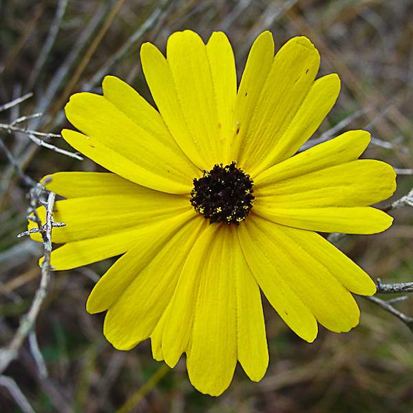 Coreopsis gladiata 3 - Copy