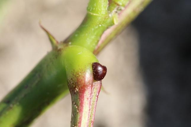 Senna occidentalis gland