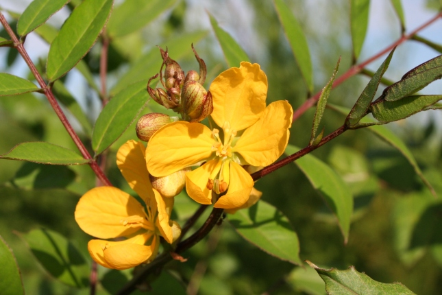 Senna occidentalis