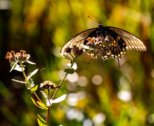 liatris file swallowtail