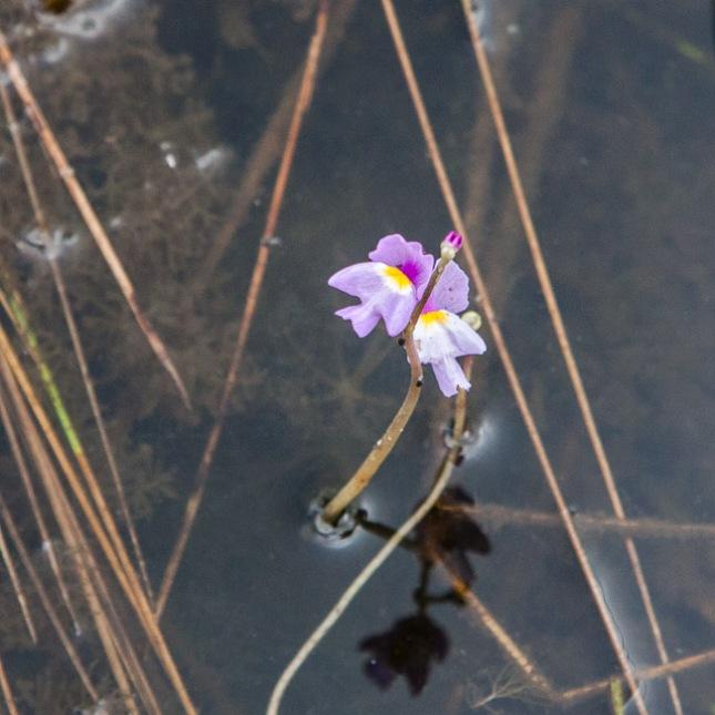 Utricularia purpurea 7