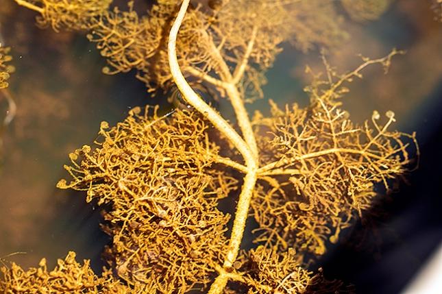 Utricularia purpurea foliage