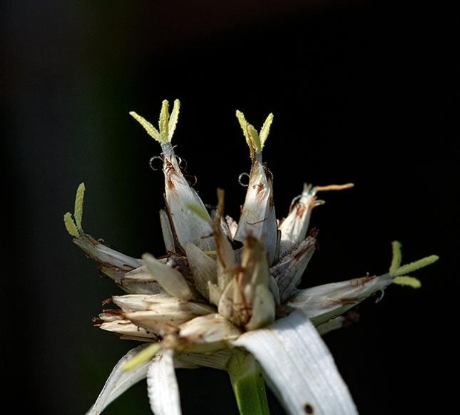 Rhynchospora colorata 1015 AM Second Photo