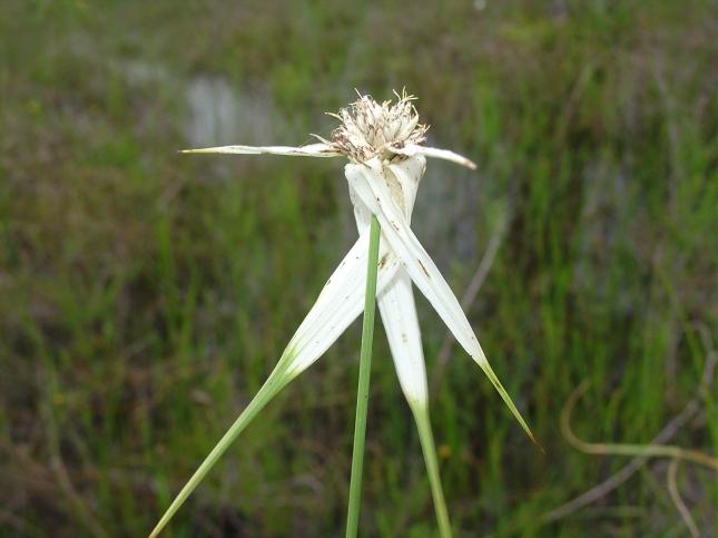 Rhynchospora latifolia 4.jpg