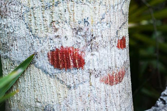 Ilex cassine lichen