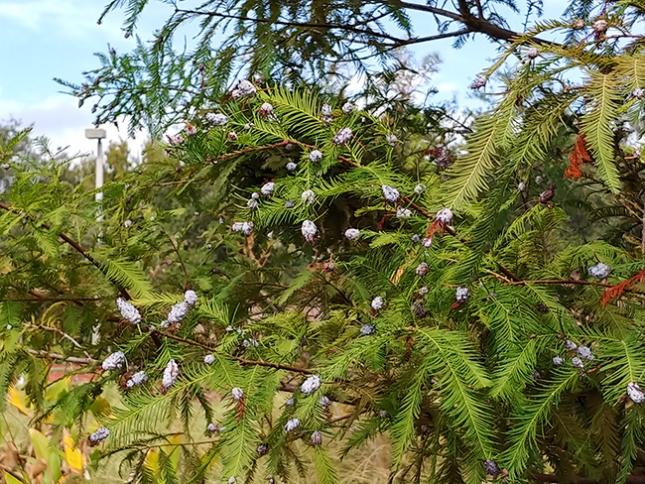 Taxodium branch galls