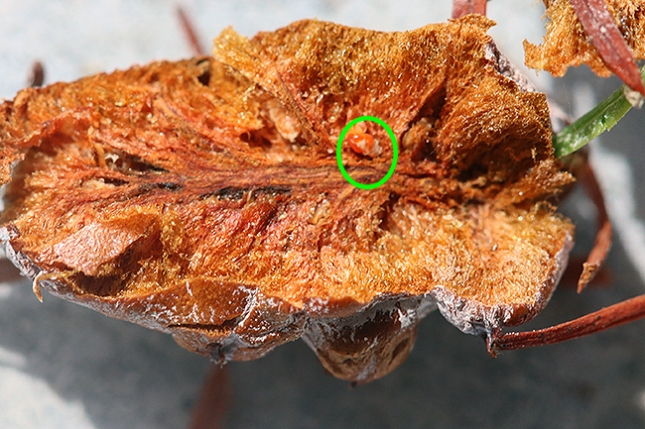 taxodium gall open