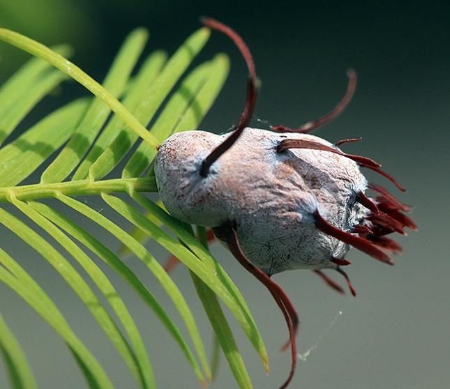 Taxodium gall whole