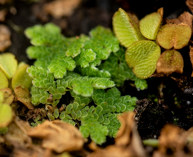 floating fern