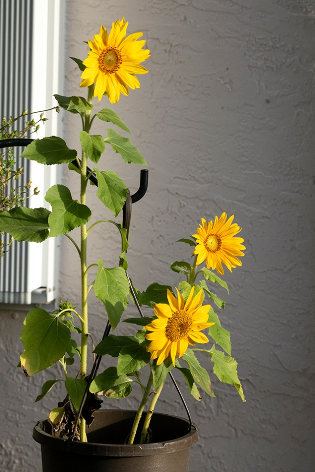 helianthus side view