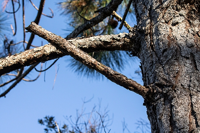 pine brabches decaying