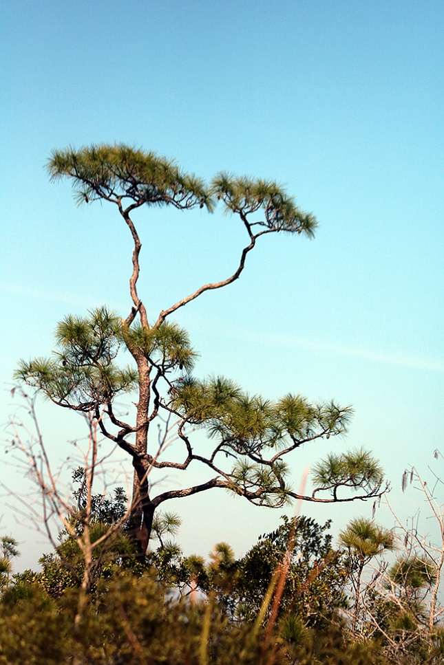 pine pom poms