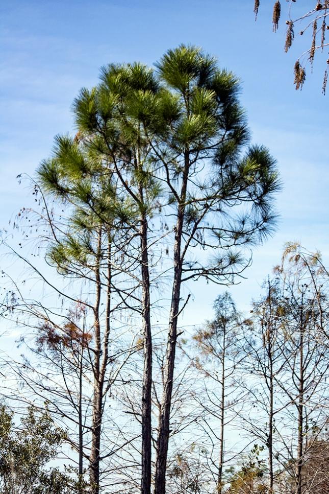 pine twins