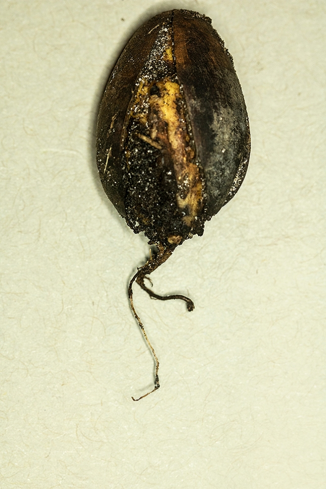 quercus virginiana half inch root