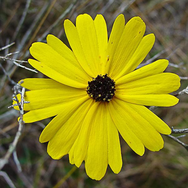 Coreopsis gladiata 3