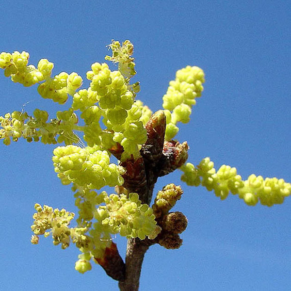 Quercus myrtifolia 5
