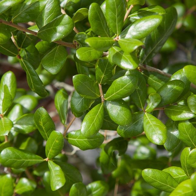 Quercus myrtifolia 8