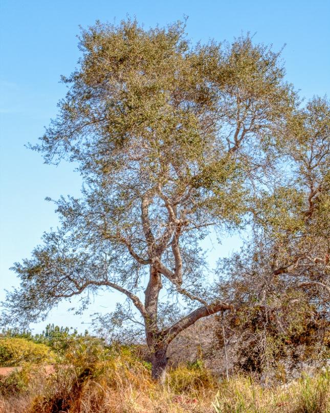 Quercus virginiana 9